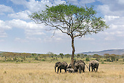 Family group of African elephants with baby on the Seegeti plains of east Africa