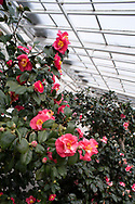 An Unknown pink and white Camellia blooming in February in the conservatory at Chiswick House, Chiswick, London, Uk