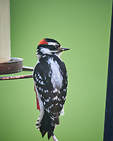 Downy Woodpecker. Image taken with a Nikon D5 camera and 600 mm f/4 VR lens (ISO 1600, 600 mm, f/5.6, 1/320 sec).