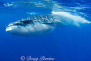 Bryde's whale, Balaenoptera brydei or Balaenoptera edeni, with throat pleats expanded after feeding on baitball of sardines off Baja California, Mexico ( Eastern Pacific Ocean )