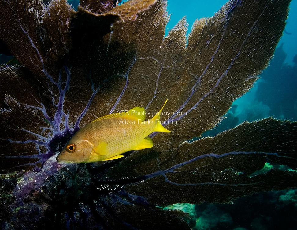 snapper and sea fan in Florida Keys