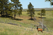 A young Rocky Mountain bull elk on the Great Plains of Montana in the American Prairie Reserve region of the C.M. Russell National Wildlife Refuge. South of Malta in Phillips County, Montana.