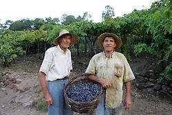 Seu Ernesto Possamai (e) e Jurandir Possamai durante a colheita da Uva, no municipio de Bento Gonçalves, serra gaucha.FOTO: Jefferson Bernardes/Preview.com