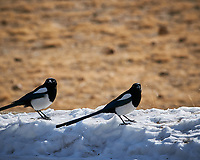 Black-billed Magpie at Rocky Mountain National Park. Image taken with a Nikon D300 camera and 300 mm f/2.8 lens (ISO 200, 300 mm, f/8, 1/640 sec).