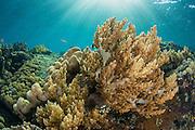 Soft Coral (Nephthea sp)<br /> Lesser Sunda Islands<br /> Indonesia