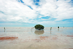 Mangroves growing in fine mud at Crab Creek to the south of Broome on Roebuck Bay