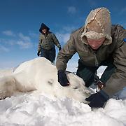 Dr. Steve Amstrup, USGS biologist, and assitant Kristin Simac prepare to take date from a polar bear (Ursus maritimus)  on the Beaufort Sea ice pack. Kaktovik, Alaska.