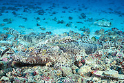 crocodilefish, Cymbacephalus beauforti<br /> courtship - smaller male rests against female<br /> Mabul, off Borneo, Sabah, Malaysia<br /> ( Celebes Sea )