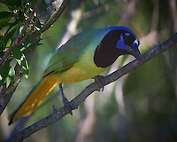 Green Jay on a Perch at a Private Ranch in Southern Texas. Image taken with a Nikon D4 camera and 500 mm f/4 VR lens (ISO 1600, 500 mm, f/5.6, 1/2000 sec).