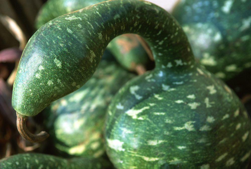 Close up selective focus photograph of some Green Pattypan Squash in the sunlight