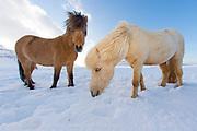 Icelandic Horse walks on a frozen landscape in western Iceland.