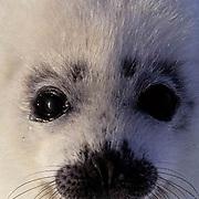 Harp Seal, (Pagophilus groenlandicus) Close-up portrait of pup. Nova Scotia. Canada. Spring.