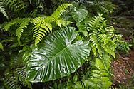 A huge rainforest leaf from a Giant Elephant's Ear, Alocasia odora, in Yangminshan, Taiwan