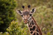 Close-up of a Masai Giraffe (Giraffa camelopardalis tippelskirchi) also known as the Maasai Giraffe or Kilimanjaro Giraffe, is the largest subspecies of giraffe and the tallest land mammal. It is found in Kenya and Tanzania. Photographed in Serengeti National Park Tanzania