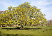 Wide spreading horse chestnut tree in spring with new leaves, Sutton, Suffolk, England, UK