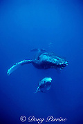 humpback whale and calf, Megaptera novaeanglia, Maui, Hawaii, calf in resting position under mother; caption must include notice that photo was taken under NMFS permit #633