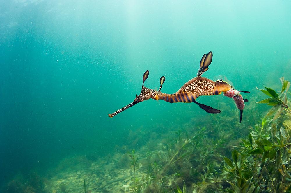 A Weedy or Common Sea Dragon (Phyllopteryx taeniolatus) swims among the pilings of the Flinders Jetty in Flinders, Mornington Peninsula, Victoria, Australia.