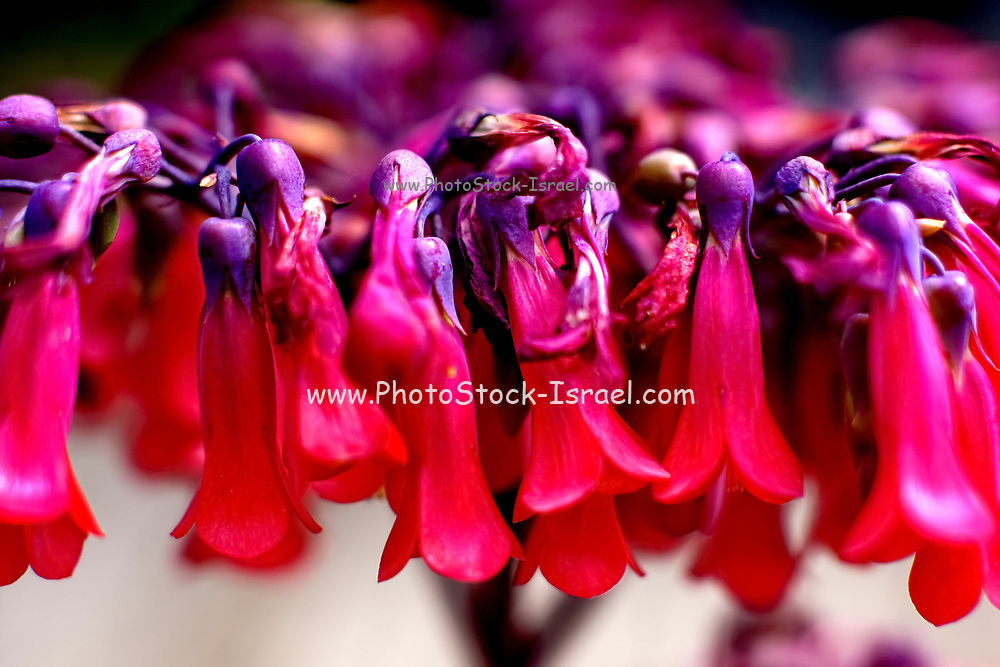 Red bell flowers closeup with selective focus