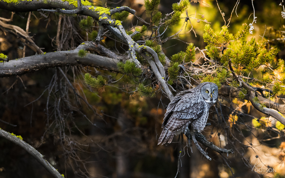 What was once a permanent fixture in old growth, American forest, great gray owls are now a species confined to small, remote and undisturbed regions. The disappearance of old growth forest through human encroachment, and the devastation of recent forest fires in the U.S., continue to push these largest of North American owls to dangerous levels of survival. Photo taken in Yellowstone National Park, USA.