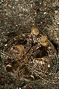 Tiger (giant) mantis shrimp: Lysiosquilla maculata, a spearing species, in burrow, Komodo National Park