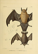 hand coloured sketched bat of South America From the book 'Voyage dans l'Amérique Méridionale' [Journey to South America: (Brazil, the eastern republic of Uruguay, the Argentine Republic, Patagonia, the republic of Chile, the republic of Bolivia, the republic of Peru), executed during the years 1826 - 1833] 4th volume By: Orbigny, Alcide Dessalines d', d'Orbigny, 1802-1857; Montagne, Jean François Camille, 1784-1866; Martius, Karl Friedrich Philipp von, 1794-1868 Published Paris :Chez Pitois-Levrault et c.e ... ;1835-1847