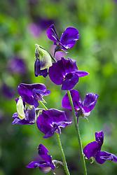Lathyrus odoratus 'Bouquet Navy'. Sweet pea