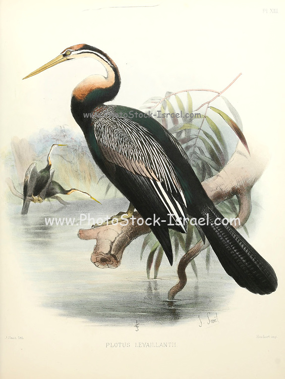 The African darter (Anhinga rufa [Here as Plotus levaillantii]), sometimes called the snakebird, is a water bird of sub-Saharan Africa and Iraq. From the survey of western Palestine. The fauna and flora of Palestine by Tristram, H. B. (Henry Baker), 1822-1906 Published by The Committee of the Palestine Exploration Fund, London, 1884