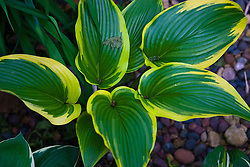 2 May 2010: Hosta plant with variegated leaves.
