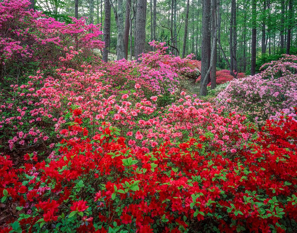 Azaleas bloom under Pine forest, Callaway Gardens, GA