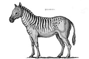 Extinct Quagga from General zoology, or, Systematic natural history Vol II Part 2 Mammalia, by Shaw, George, 1751-1813; Stephens, James Francis, 1792-1853; Heath, Charles, 1785-1848, engraver; Griffith, Mrs., engraver; Chappelow. Copperplate Printed in London in 1801 by G. Kearsley