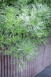 Artemisia schmidtiana 'Nana' AGM - Dwarf wormwood - in a metal container