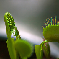 USA, California, San Marino. Venus Flytrap plant at Huntington Library Botanical Gardens.