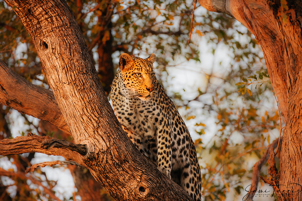 A leopard in a tree (Panthera pardus) looking around for rival predators while hunting, Moremi Game Reserve, Botswana, Africa