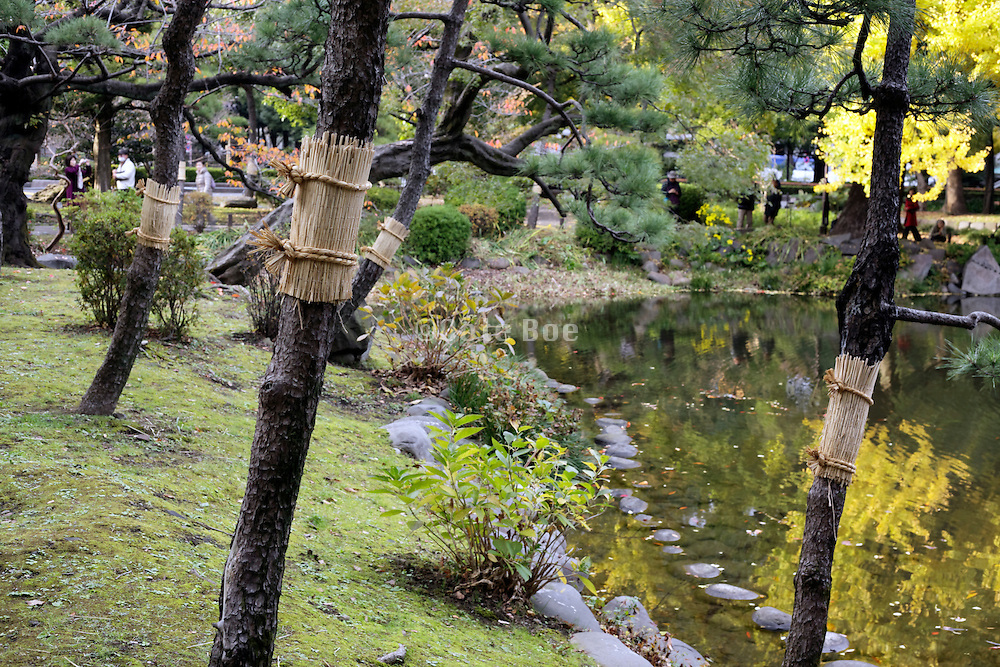 trees wrapped with komomaki in Hibiya park, Tokyo