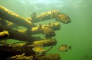 Bluegill on Fish Crib<br /> <br /> ENGBRETSON UNDERWATER PHOTO
