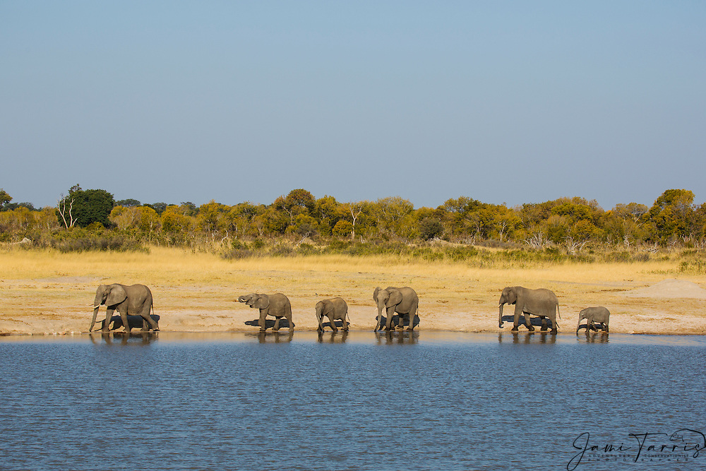 A herd of African elephants (Loxodonta africana) walking around a water hole to find a spot to drink, Hwange National Park, Zimbabwe,Africa