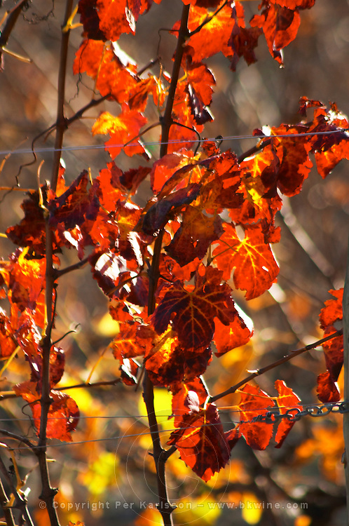 La Clape. Languedoc. Domaine Mas du Soleilla. Vines trained in Cordon caroyat royat pruning. Vine leaves. The vineyard. Bright and vibrant red and yellow autumn winter colours. France. Europe.