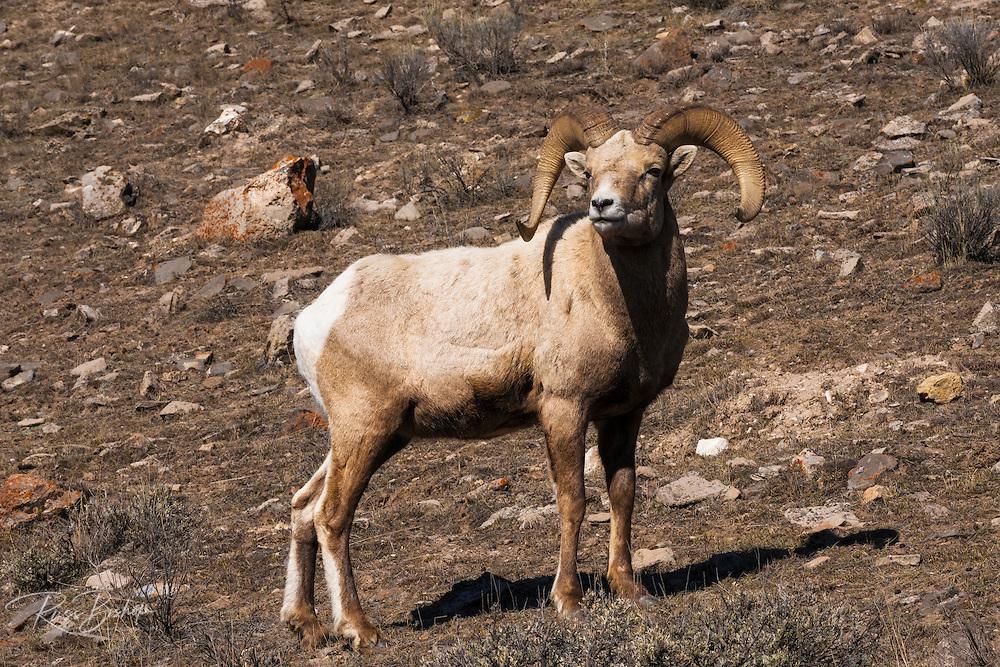 Bighorn sheep (Ovis canadensis) at the National Elk Refuge, Jackson Hole, Wyoming USA