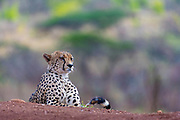 Male cheetah (Acinonyx jubatus) from Zimanga Private Reserve, South Africa.