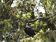 A white-necked raven (Corvus albicollis) perches in a tree in a tree in the moist montane forest on the slopes of Kilimanjaro. Kilimanjaro National Park, Tanzania.