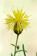 Yellow Knapweed, Centaurea orientalis, Romania, Europe