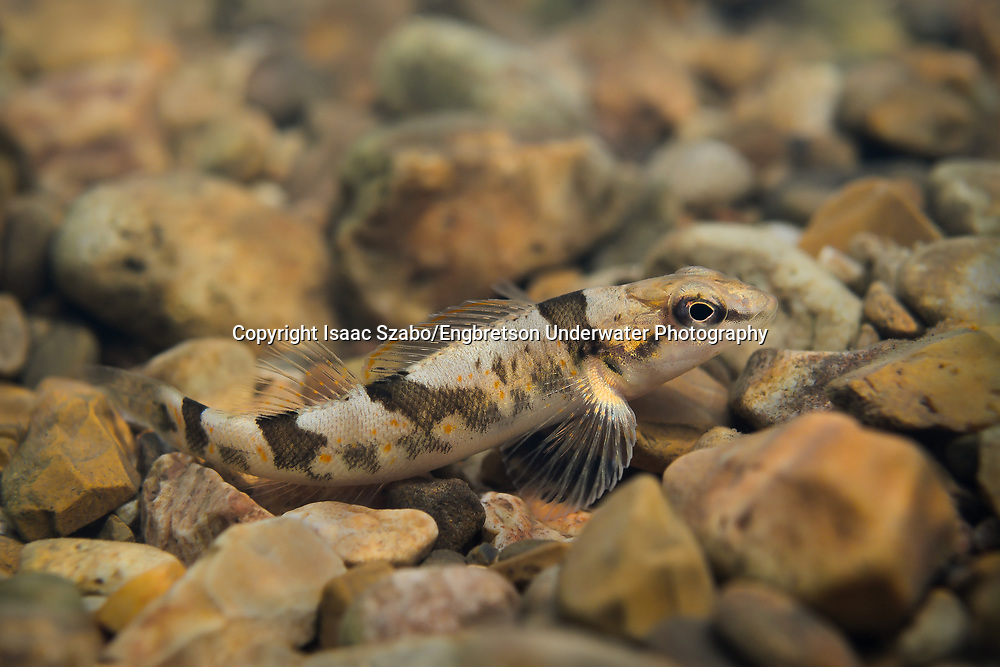 Arkansas Saddled Darter<br /> <br /> Isaac Szabo/Engbretson Underwater Photography