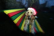 Golden Retriever Lemmy mit einer weihnachtlichen Mütze. Der Golden Retriever ist ein intelligenter, freudig arbeitender Hund, dem auch extreme, nasskalte Witterungsbedingungen nichts ausmachen. Dem steht allerdings eine relativ starke Empfindlichkeit hinsichtlich hoher Temperaturen gegenüber. Grundsätzlich ist die Rasse ruhig, geduldig, aufmerksam und niemals aggressiv.<br /> <br /> Golden Retriever Lemmy on a rastafari bench located at the Czech countryside with a christmas hat.