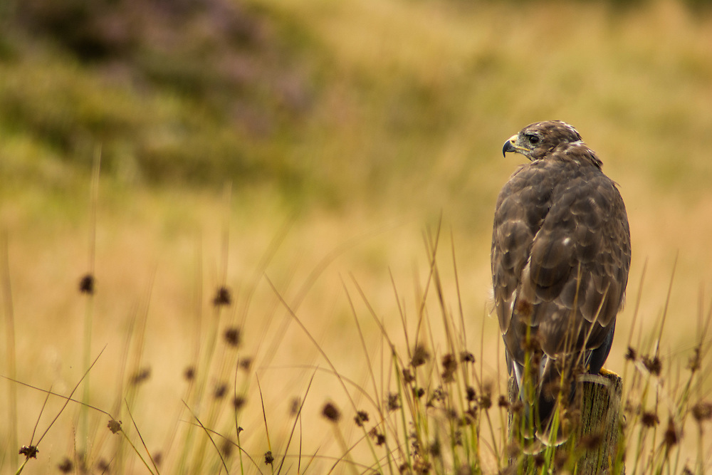 Buzzard in the moorland, Leicestershire.