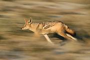 Black-backed jackal running (Canis mesomelas) Tsau-ǁKhaeb-(Sperrgebiet)-Nationalpark, Namibia | Schabrackenschakal (Canis mesomelas) Sperrgebiet National Park, Namibia