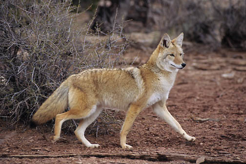 Coyote (Canis latrans) pups displaying dominance in the Rocky Mountains of Montana.  Captive Animal.