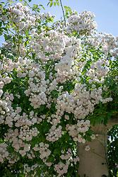 Rosa 'Belvedere' AGM