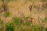 Cheetahs, Kruger National Park, South Africa