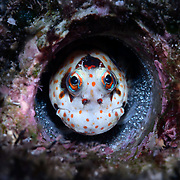 This is a red-spotted blenny (Blenniella chrysospilos) peeking out from its home, which is an abandoned burrow of a Dendropoma maximum snail. This individual is a male watching over a clutch of eggs that are almost ready to hatch.