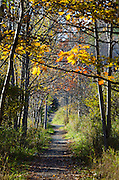 Trees along a hiking trail in Acadia National Park form a tunnel of yellow autumn leaves.
